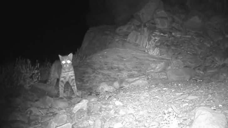 红外影像来了!宁夏贺兰山首次拍摄到野生豹猫