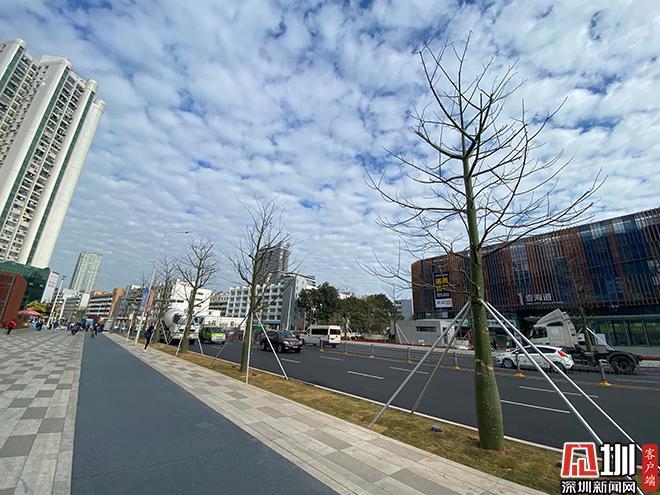 网友询问深盐路行道树为何重植?相关部门回应来了