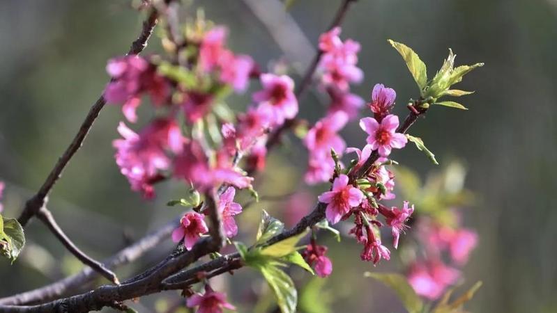 深新早点丨满城春色赏花去,500多株樱花盛放仙湖植物园