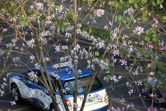 宫粉紫荆夹道盛开,滨河大道迎来最美时刻