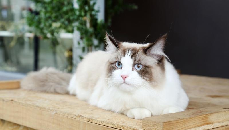 不满意1万元买的布偶猫,男子掉包价值6万元的布偶猫被刑拘