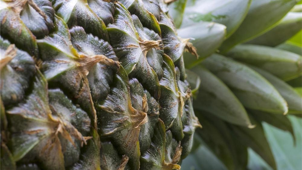 """网友揭蔡英文""""菠萝销澳洲""""骗局:其实只买了56公斤菠萝干"""