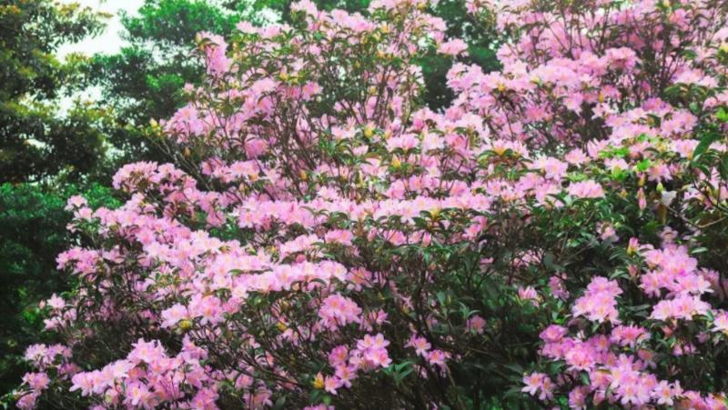 深新早点丨梧桐山毛棉杜鹃花开啦,一年一度的花会即将登场