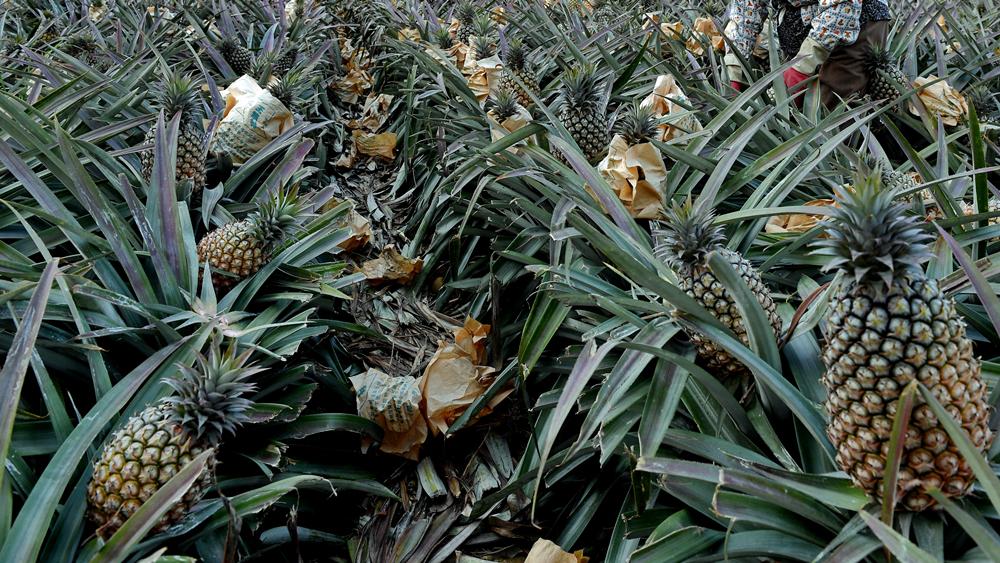 国台办:去年大陆向台方通报28批次菠萝不合格情况,台方无任何回复