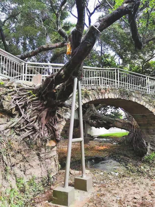 给三株临河百年古树撑上支架 坪山区完成全市首例涉河道古树抢救复壮
