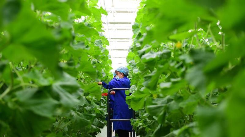 """新疆喀什:打造南疆""""菜园子"""""""