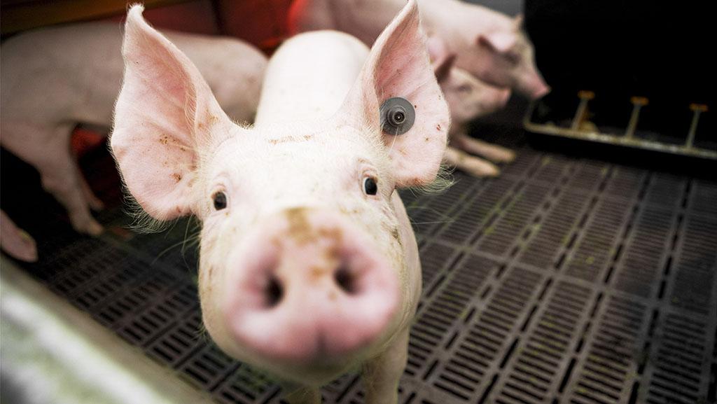 日本栃木县出现猪瘟疫情 将扑杀约3.7万头猪