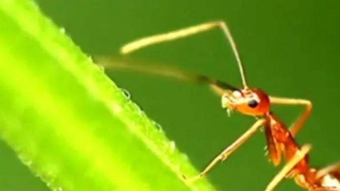 农业农村部:强化红火蚁阻截,加快推进全国外来入侵物种普查