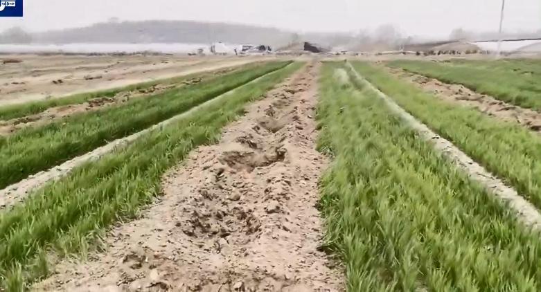 数百亩耕地被强制种树,最新进展:当地已开始拔树