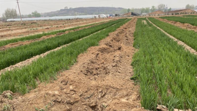 唐山丰润有耕地被栽种树苗:麦苗遭毁,政府人员承认沟通不细