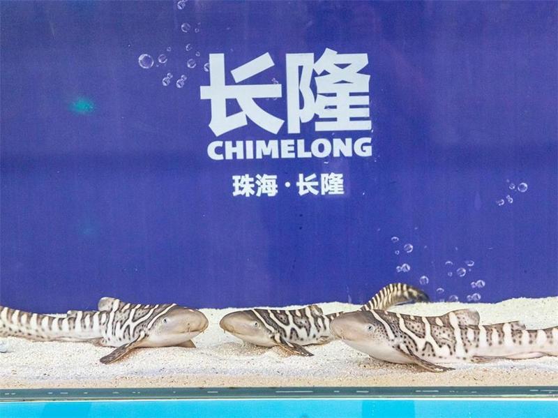 又添新成员!长隆海洋王国再次成功繁育豹纹鲨