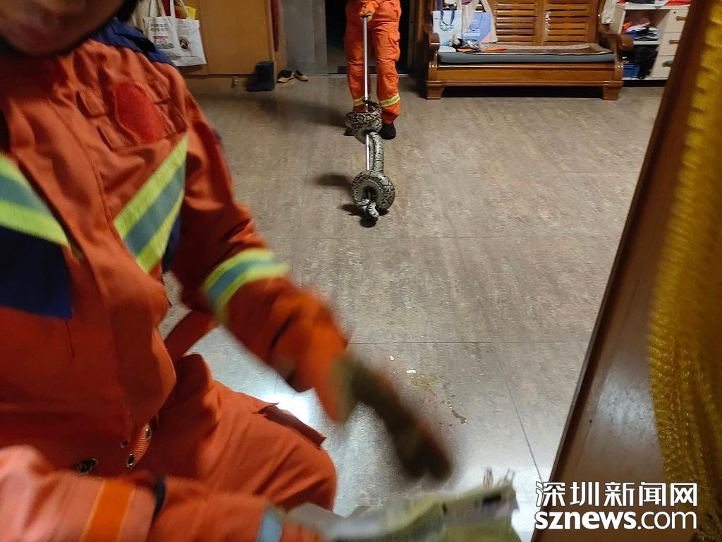 IN视频|居民家中闯入2米大蟒蛇!深圳消防使用捕蛇器成功捕获