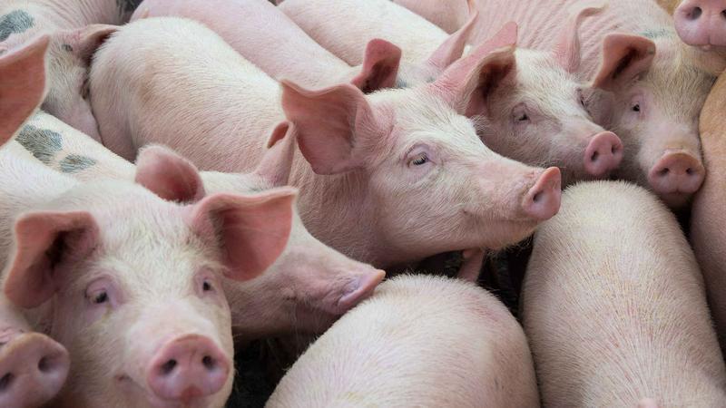 猪肉价格大跌!养一头猪亏500元,接下来怎么走?