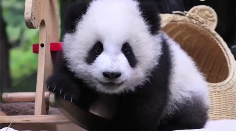 """大熊猫为啥被""""降级""""?揭秘来了"""