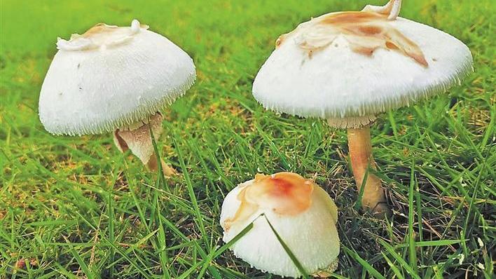 这种蘑菇千万别吃,有剧毒!