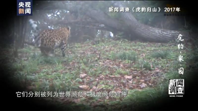 """新闻调查:寻找最大公约数!国家公园照亮虎豹""""回乡""""路"""