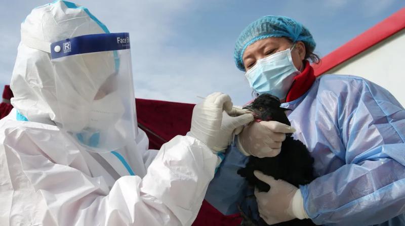 """深圳援疆尼雅黑鸡养殖项目在南疆飞出了 """"金凤凰"""""""