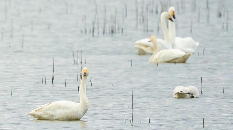 天鹅飞临石臼湖