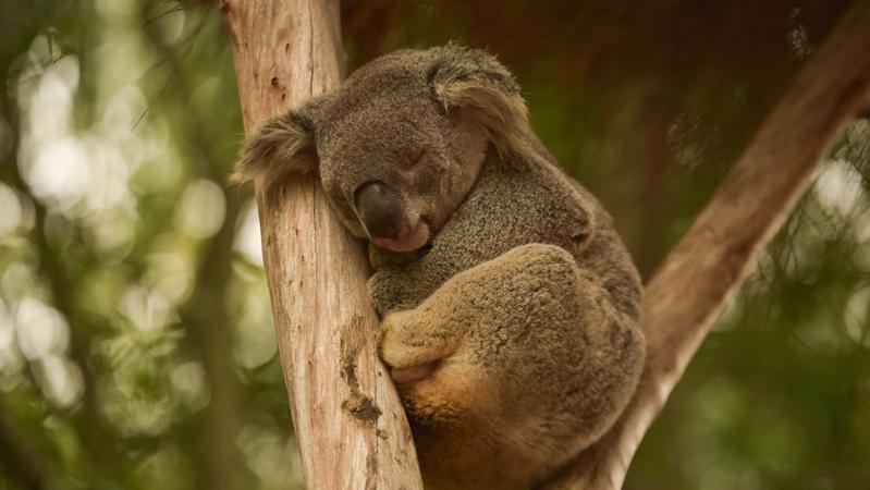 统计调查、健康研究……澳宣布一系列措施保护考拉