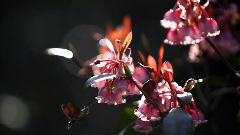 深新早点丨惊艳绽放!梧桐山红花荷迎来盛花期,将持续到这个时候
