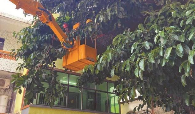 咋回事?10米高大榕树被投诉了