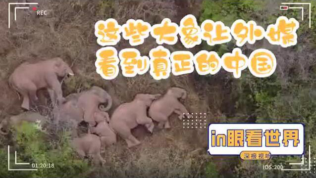大象让外媒看到真正的中国,网红象成吨输出中国人文关怀