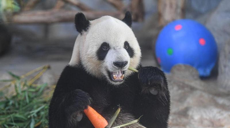 大熊猫端午享美食