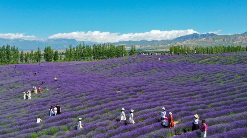 新疆霍城:紫色花海绽放