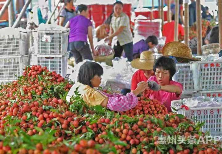 """惠州首批""""东坡荔""""本月上市 镇隆荔枝预计产量8000吨"""