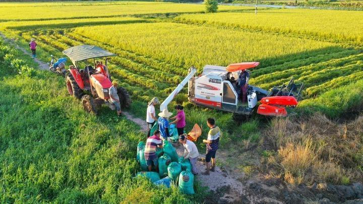 开镰收割忙!珠海斗门3万多亩早造水稻进入收割期