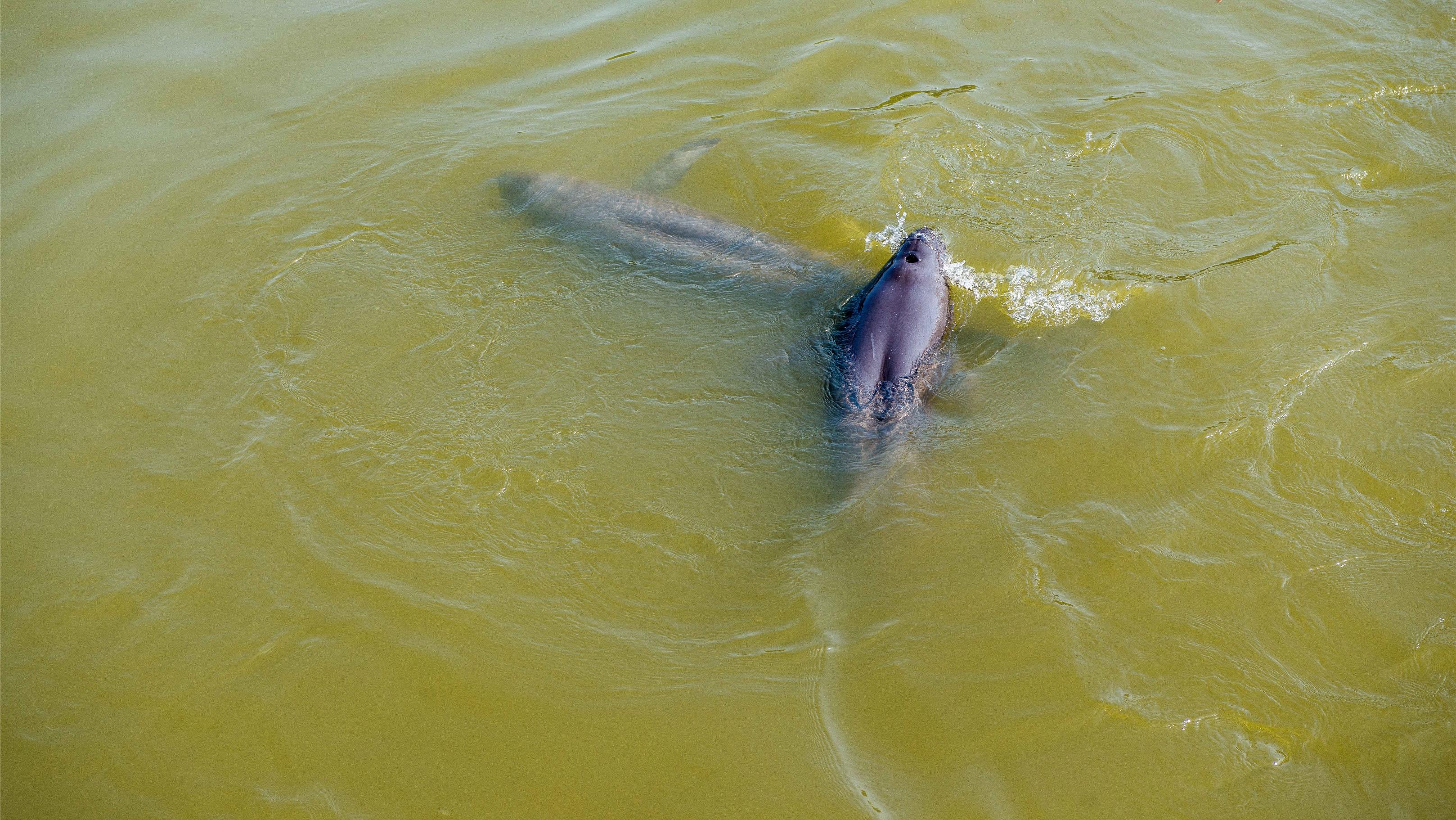 湖北潜江市民拍到江豚跃出水面,系近30年来首次现身该地