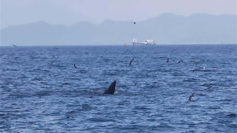刷爆朋友圈!大鹏新区近海鲸鱼出没
