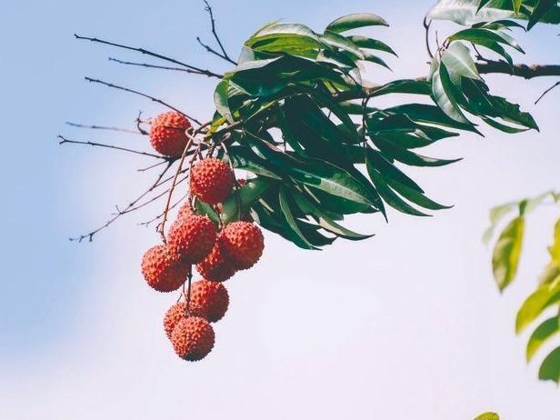 """空腹食用荔枝小心患上""""荔枝病""""!高糖水果可能吃出低血糖"""