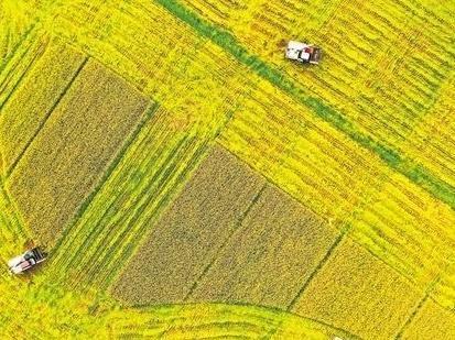 田野翻金浪 早稻收割忙 江门市已收割面积逾6万公顷,产量稳中略增