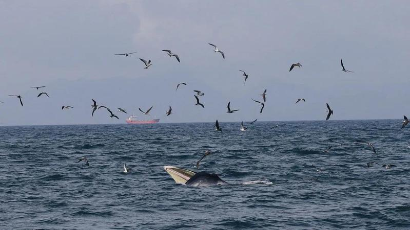 """来了就是深圳鲸:""""干饭王""""小布在大鹏湾满月了"""