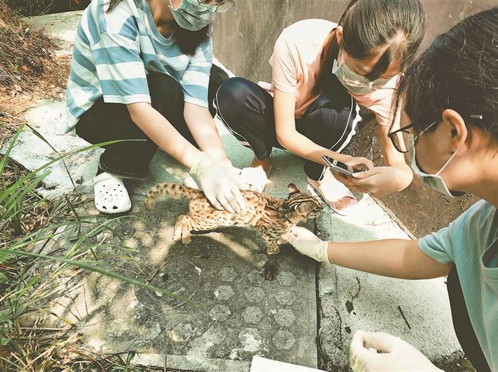 大鹏杨梅坑发现两只野生豹猫 系国家二级保护动物