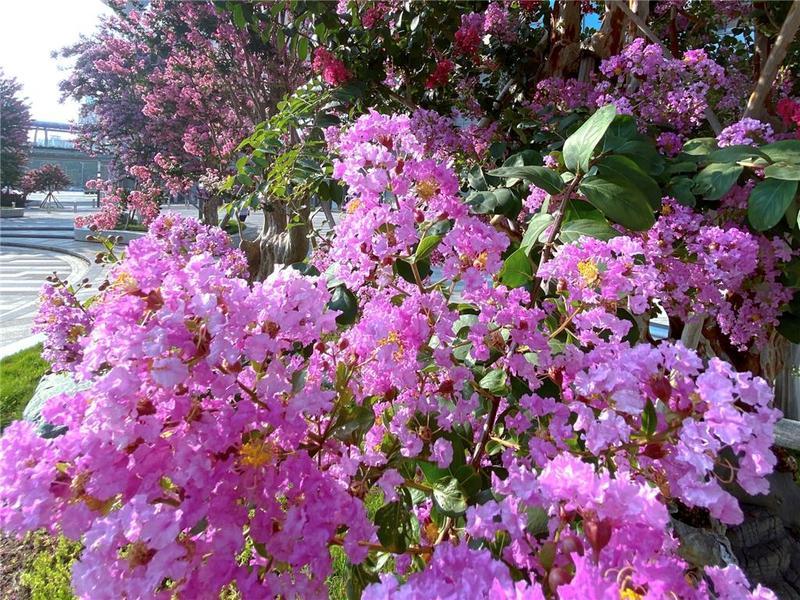 佛山市紫薇港:上百棵古紫薇绘就一道绚丽风景线