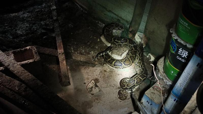 深圳一地惊现2米大蟒蛇!