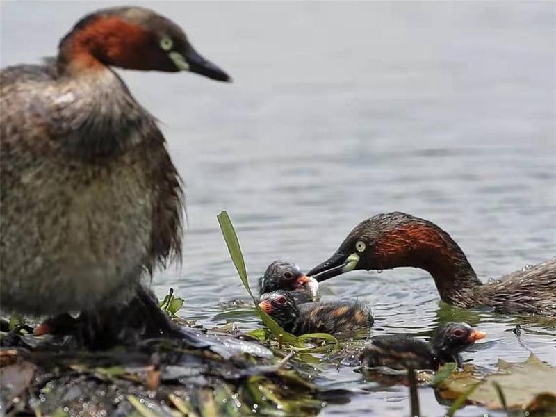 惠州西湖水体修复见成效 引来䴙䴘育儿安家