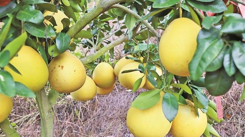 深汕合作区的蜜柚熟了!千亩赤石柚年产量两千多吨 盼更多市民品尝