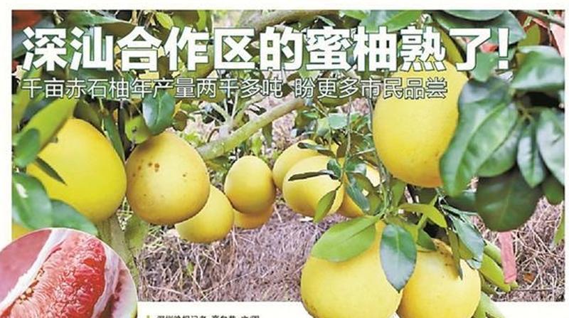 《深汕合作区的蜜柚熟了》报道引多方关注 市民纷纷献计建议上网销售