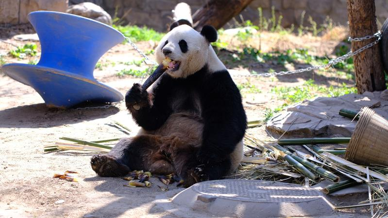 """超""""萌""""预警!中秋节来临,大熊猫也吃月饼!小心被""""萌""""倒"""